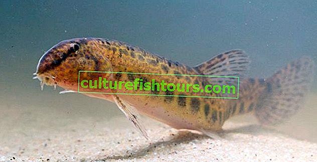 Riba iščupana