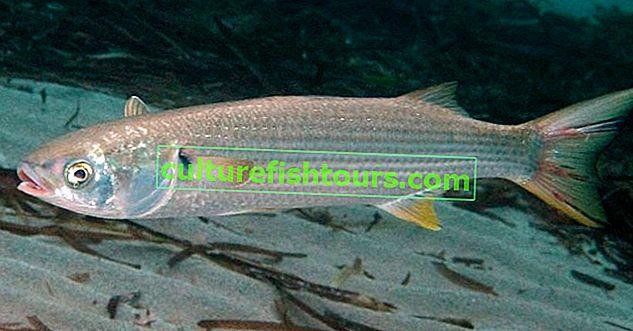 Риба Лобань - як ловити і як готувати