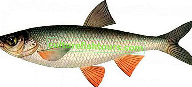 Chebak riba (sibirski žohar)