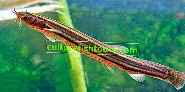 Ribe iz porodice loach - vrste, značajke