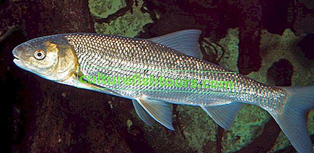 Šaran riba