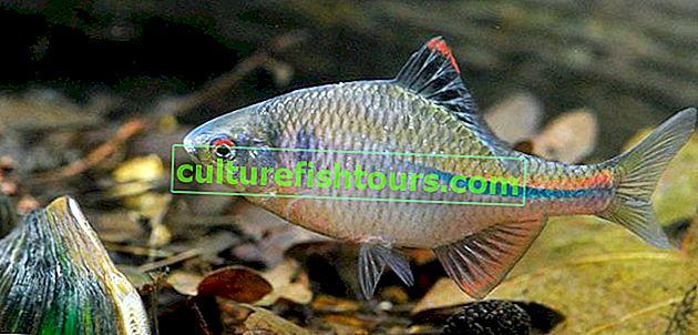 Gorchak Fisch