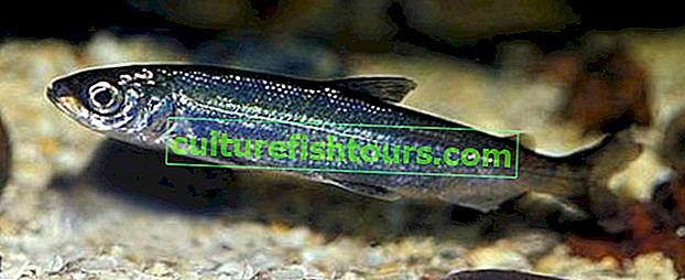 Ripus ryby