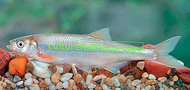риба Шамайко