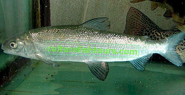 риба тугун