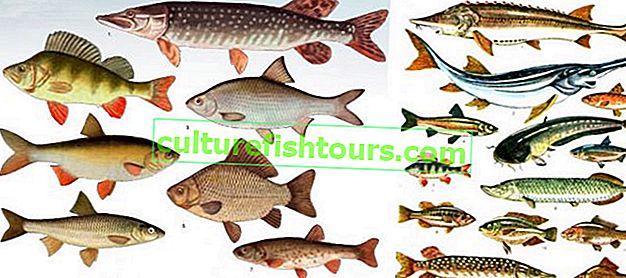 Nehir balıklarının listesi
