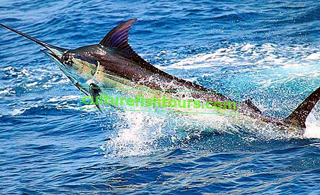 Marlin riba