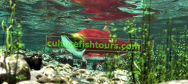 Nazwy ryb łososiowych, cechy gatunkowe