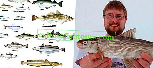 Rodzaje białych ryb, nazwy i cechy