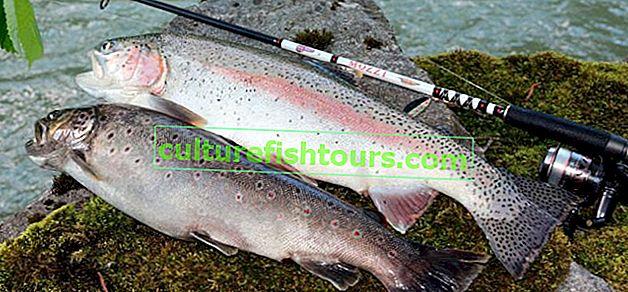 Predenje pastrve u ribolovu
