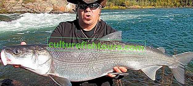 Beyaz balık yakalamak