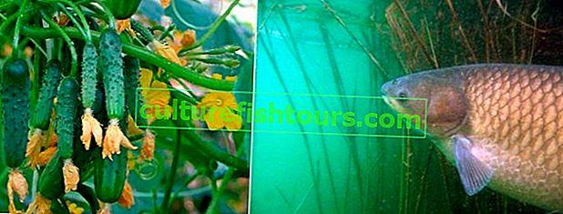Ловля білого амура на огірок