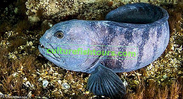 риба зубатка