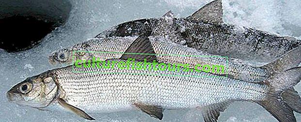 Weißfischangeln im Winter