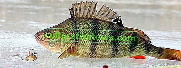 Barschfischen auf dem ersten Eis