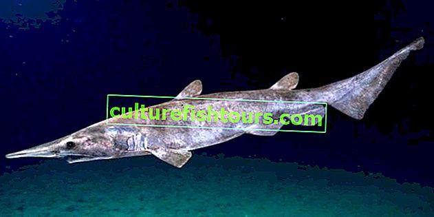 Акула-домовик (акула гоблін)