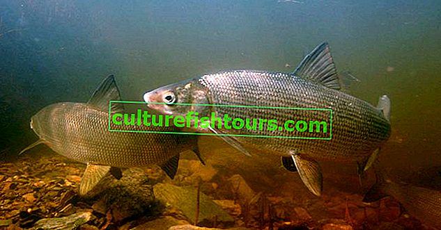 риба муксун