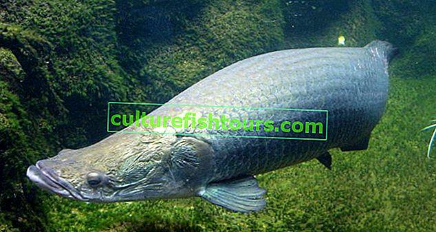риба арапаїма