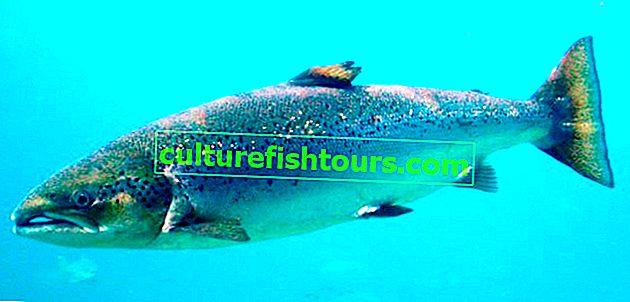 Сьомга (Атлантичний лосось)