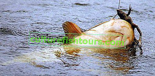 Kurbağa üzerinde yayın balığı yakalamak