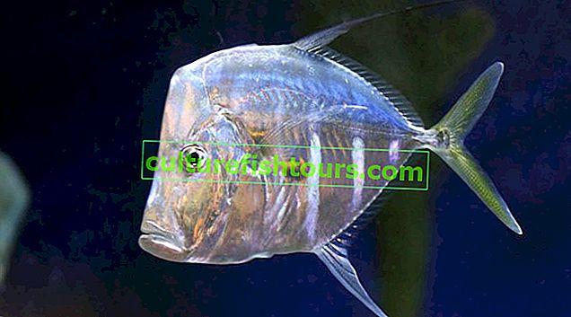 Fish vomer
