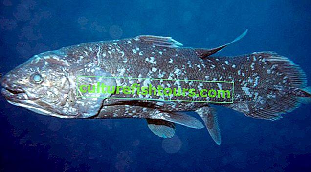 Ryba Coelacanth