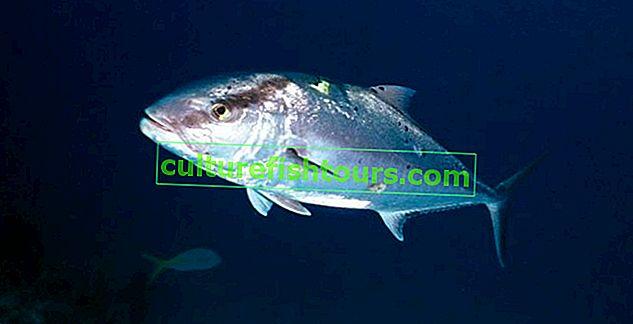 Fish lakedra (Yellowtail)