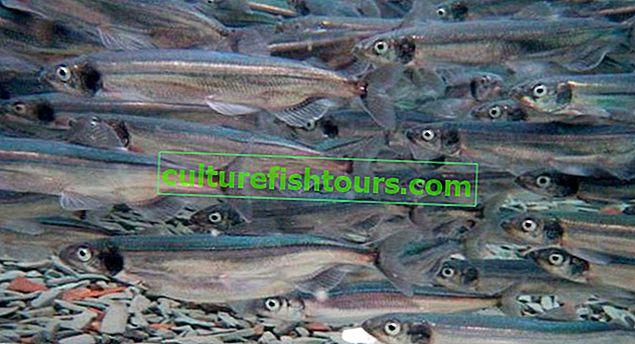 Ryby gromadnika