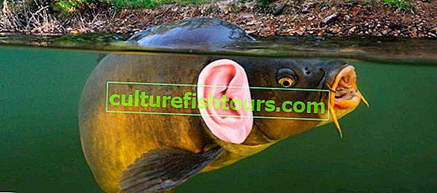 Чи є у риб слух?