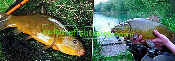 Риболов на лин: къде, как и какво да хванем