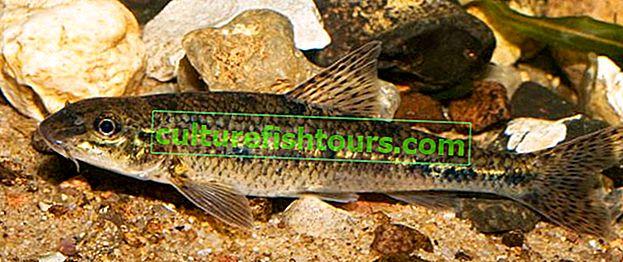 Gudgeon balıkçılık: ne yakalanır ve nasıl